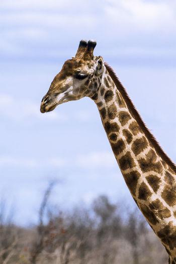 View of giraffe against sky