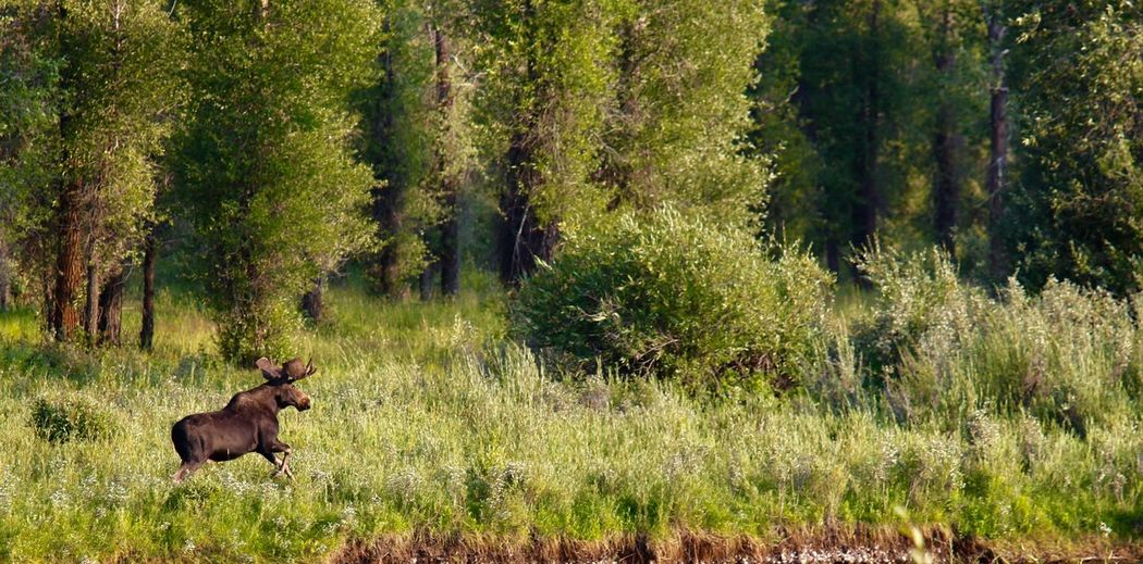 Moose walking on grass at forest