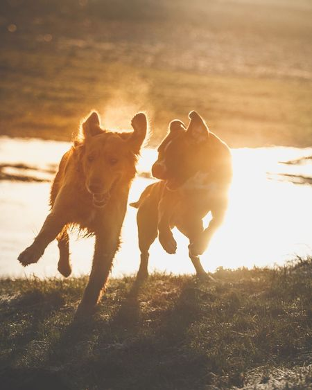 This guys are having Fun 😉 Dogs Retriever Boxer Dogs EyeEm Selects Sunset Silhouette Animal Back Lit Running Outdoors Sunlight