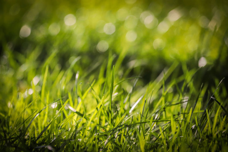 Lush green grass with beautiful bokeh in the background. Defocused Summer Backgrounds Close-up Grass Green Color Ear Of Wheat Farmland Blade Of Grass Hay Bale Cereal Plant Stalk Bale  Combine Harvester Damselfly Barley Cultivated Land Crop  Straw Corn - Crop Agricultural Field Oilseed Rape Grass Area Dew Wheat Rye - Grain Grain Oat - Crop