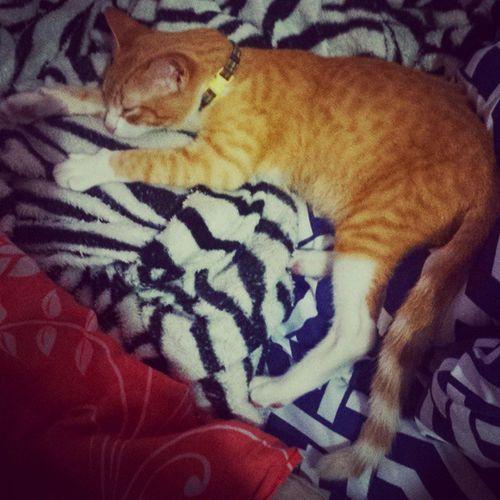 """DiárioDeAslan : Pensa num ser que cabia na palma da sua mão e hoje, quase 3 meses depois do """"amor à primeira vista, já ocupa todo o espaço da sua cama. Esse é o meu leãozinho! 😍 Galaxys4camera Instafofura Instacat gato instapet felino HoraDoSono"""