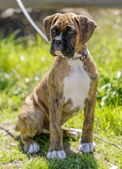 Nine-weeks-old american bulldog, male puppy brindle