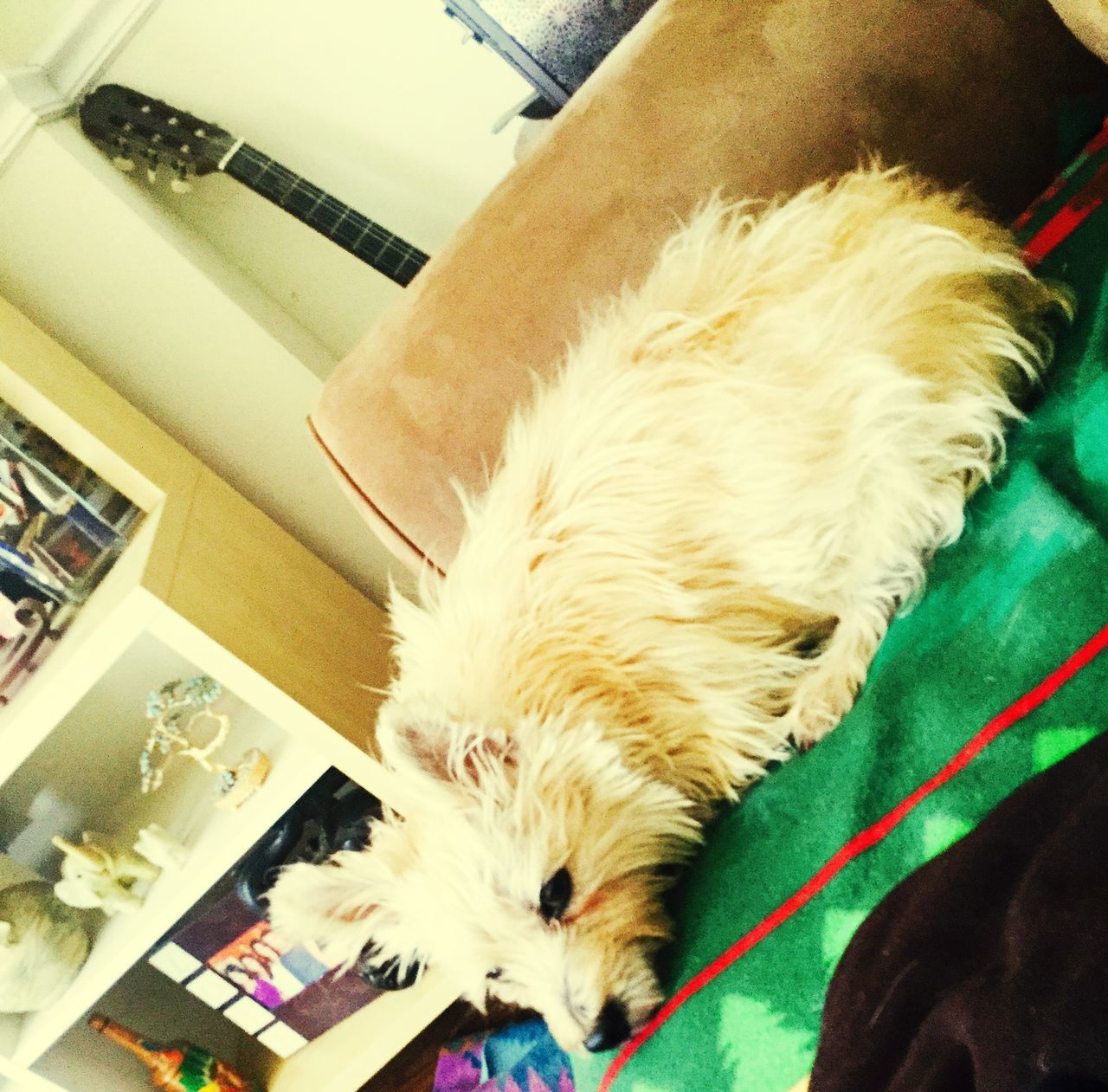 pets, domestic animals, mammal, dog, animal themes, one animal, indoors, sleeping, home interior, no people, close-up, day