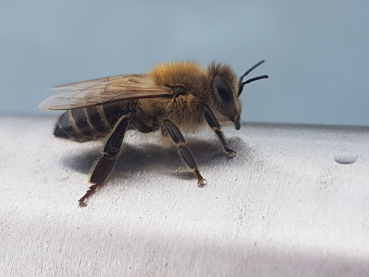 Bee Insect Animal Themes Close-up Animal Antenna Honey Bee Buzzing