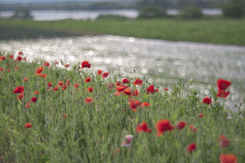 양귀비꽃 Korea Flower Head Water Poppy Rural Scene Red Springtime Closing Uncultivated Petal Blooming Daisy Single Flower