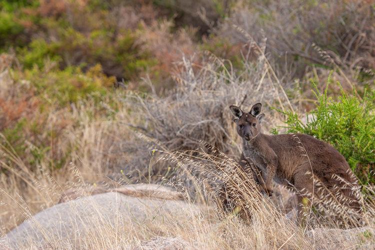 Portrait Looking At Camera Animal Themes Grass Close-up Kangaroo South Australia Australian Culture