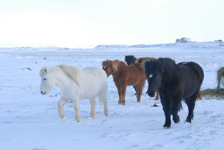 Horses standing on snow field against sky