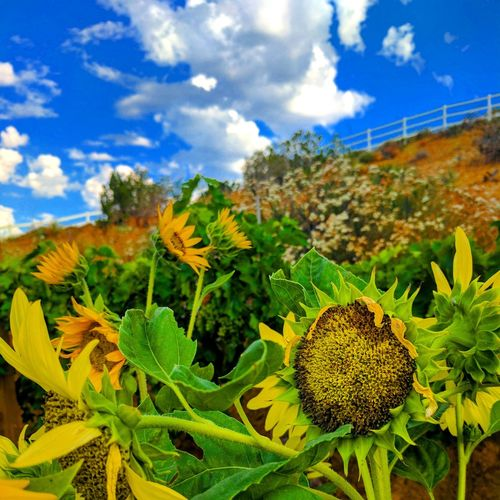 Sunflowers🌻 Summergarden Sunflowers Sunflower Field Summerflowers Easytogrow Yellowflowers Yellowflowers Sunflower Summerblooms Yellow Flowers Sunflowersandsunshine Plant Cloud - Sky Nature Sky Cactus Growth No People Outdoors Beauty In Nature Scenics Blue Day Close-up Paint The Town Yellow