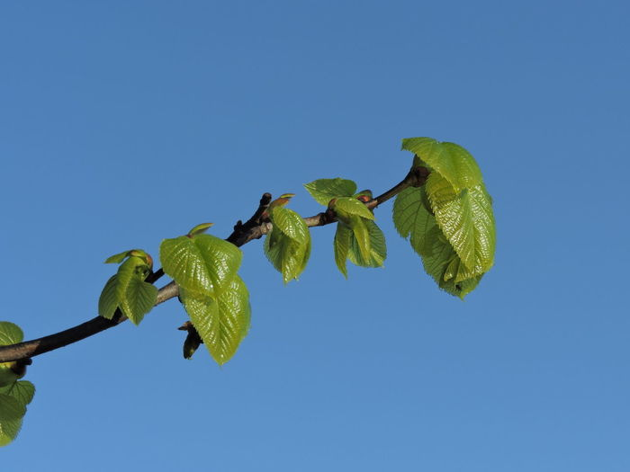 New Growth Springtime Sky Clear Sky Leaf Plant Part Copy Space Plant Blue Nature Low Angle View Growth Beauty In Nature Green Color Freshness No People Day Flower Close-up Outdoors Fragility Tree