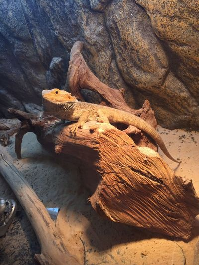 le gros BB Hello World Check This Out Pogona