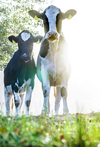 Cows stand in