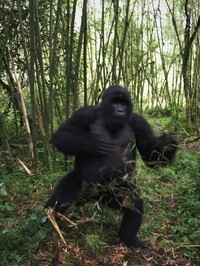 Adrenaline Junkie Mountain Gorilla Gorilla Mountain Encounter Rwanda