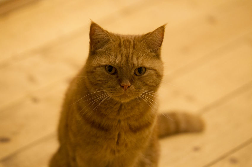 Cat Domestic Cat Mammal Domestic Pets One Animal Domestic Animals Feline Portrait Looking At Camera No People Whisker High Angle View Sitting Indoors  Close-up Vertebrate Ginger Cat Animal Eye Tabby