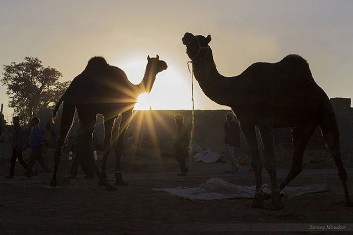 """Give me some sunshine..."" Rays Rimlight Camel Rajasthan Travelphotography Traveller India Natgeotravel Natgeohd Awsome_earthpix Picoftheday 1x5 Sunrays TravelPhotographer Unseenindia Explorer Pushkar Camelfair Camelfair2015"