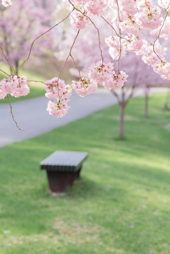 A nice place to sit Copy Space Plant Flowering Plant Flower Beauty In Nature Fragility Growth Tree Blossom Springtime Freshness Nature Focus On Foreground Cherry Blossom No People Park Day Branch Pink Color