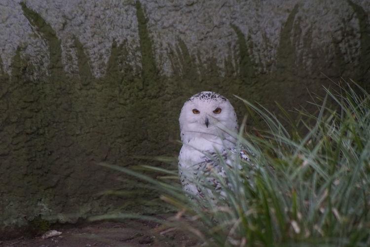 Animal Brid Owl Sneeuw Uil Snowy Owl Sony A77ii Sonyalpha UIL Nice Picture 😉👌 OWL Shoot Dierenpark Amersfoort