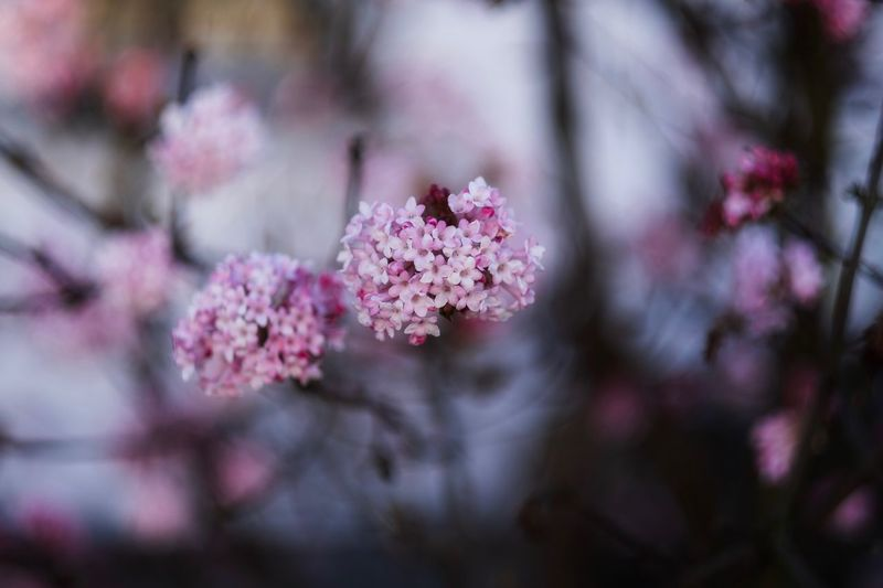 Japanische Kirschblüte Flower Flowering Plant Plant Freshness Fragility Beauty In Nature Growth Branch Springtime Blossom No People Focus On Foreground Nature Pink Color Vulnerability  Botany Selective Focus Day Tree Close-up