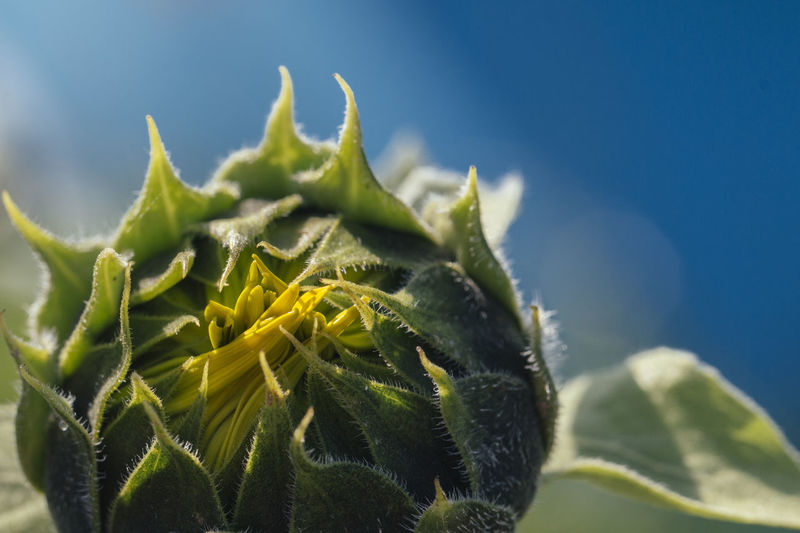 Beauty In Nature Blue Botany Close-up Detail Focus On Foreground Fragility Green Color Growing Growth Leaves Macro Macro_flower Macro Nature Natural Pattern Nature's Diversities Plant Selective Focus Sunflower Sunflowers🌻