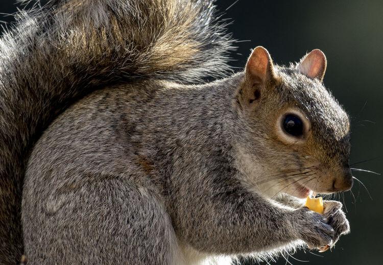 Corn nibbler Animal Themes Backlit Subject Close-up Corn Day Eating Food Kernal Of Corn Mammal No People One Animal Outdoors Pets Squirrel Closeup