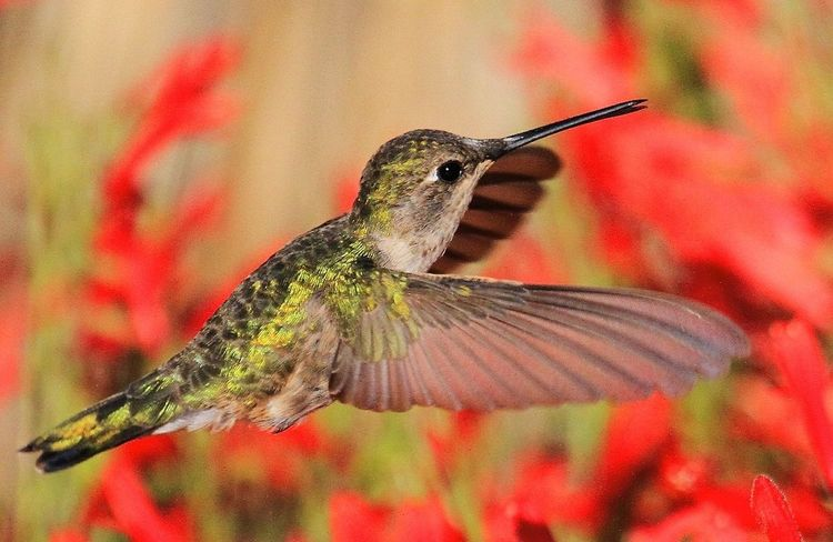Ann's hummingbird Hummingbird Humming Bird Birds Of EyeEm  Birds_collection Birds In Flight Wildlife Wildlife & Nature Wildlife Photography Avian Collection Nature_collection Nature Insect Animal Themes Focus On Foreground No People Beauty In Nature Flower Close-up Fragility Freshness Outdoors The Great Outdoors - 2018 EyeEm Awards