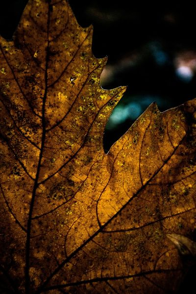 Single Object Nightphotography Taking Photos Milano Autumn Photography Italia Photographer Detail Autumn #fall Focus On Foreground Fragility Perfect Match First Eyeem Photo Eye4photography  Close-up EyeEm Best Shots EyeEm Nature Lover Natural Pattern Nature_collection #eyeemnaturelover #nature Studio Shot Selective Focus Leaf Love Autumn #fall