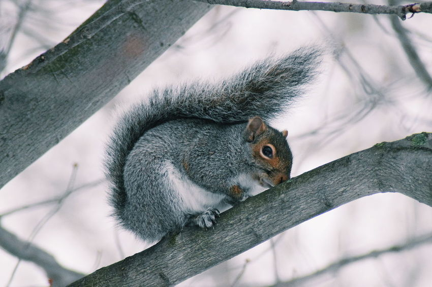 Winter Squirrel Closeup Nature Wildlife Wildlife & Nature Wildlife Photography Tree Squirrel Close-up Rodent Whisker