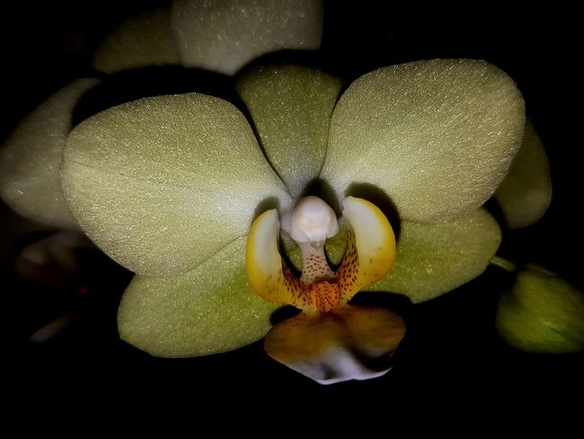UnderSea Black Background Sea Life Close-up Orchid Blooming Bud Magnification Cell Sepal New Life Stem Botany Flower Head Single Flower In Bloom Fragility Stamen Petal Pollen EyeEmNewHere Go Higher