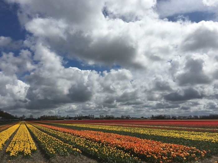 Idyllic Shot Of Tulip Field Against Cloudy Sky