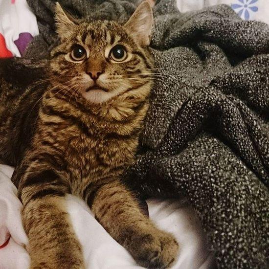 Wtfface Charliethecat Cutenessoverload Catsofinstagram Kittensofinstagram WTF Mik Love Karcsika Catlovers