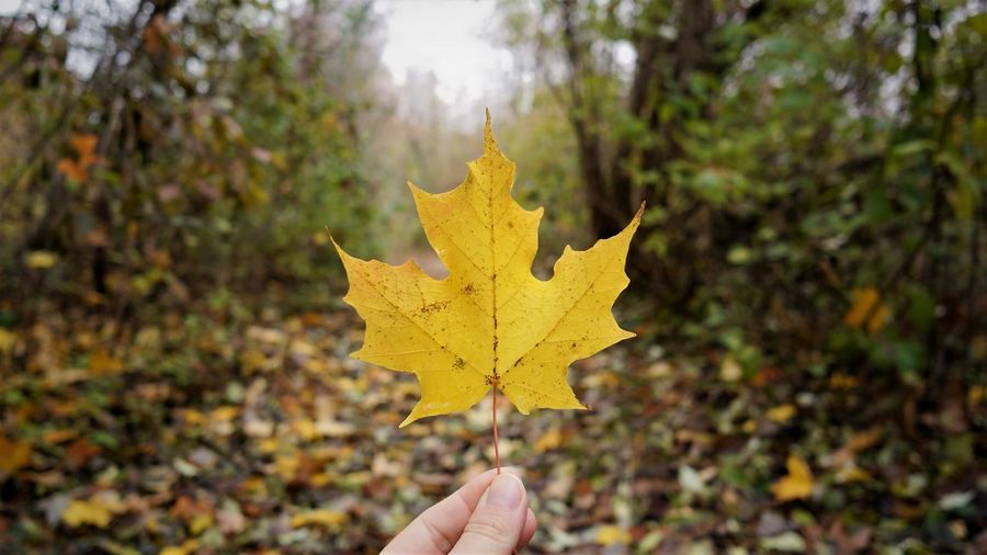 Autumn Plant Part Leaf Human Body Part Hand One Person Human Hand Change Maple Leaf Personal Perspective Holding Yellow Tree Nature Body Part Unrecognizable Person Dry Focus On Foreground Day Close-up Finger Outdoors Maple Tree Leaves Autumn Collection
