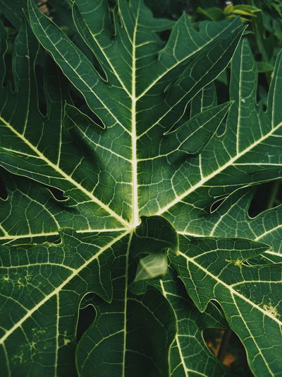 Papaya Leaf Aesthetics Lines Vibes Leaf Backgrounds Spider Web Insect Close-up Animal Themes Green Color Leaf Vein Natural Pattern Leaves Plant Life Botany