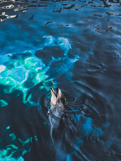 High angle view of dolphin catching fish in sea