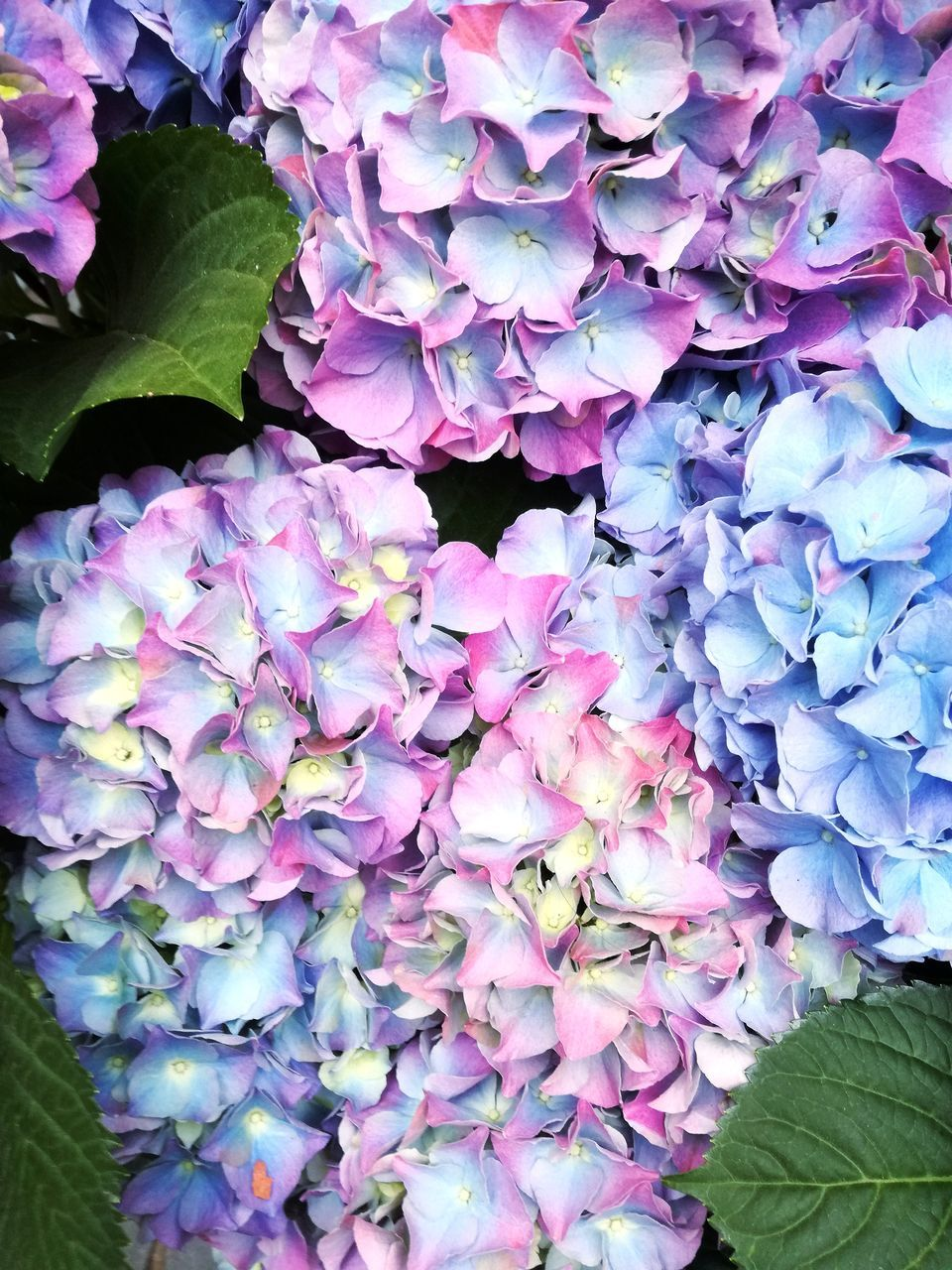 flower, beauty in nature, petal, nature, purple, growth, fragility, leaf, plant, hydrangea, no people, freshness, outdoors, blooming, flower head, day, close-up