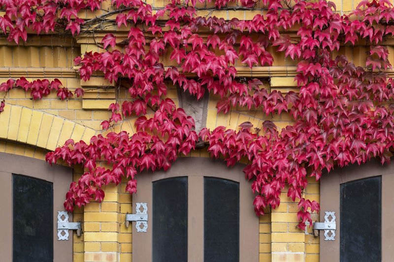 Beautiful red wild wine nests in autumn on the facade of a house along. Autumn Leaves Ampelopsis Architecture Beauty In Nature Building Building Exterior Built Structure Day Entrance Flower Flowering Plant Foliage Freshness Growth House Ivy Low Angle View Nature No People Outdoors Pink Color Plant Residential District Window Wine