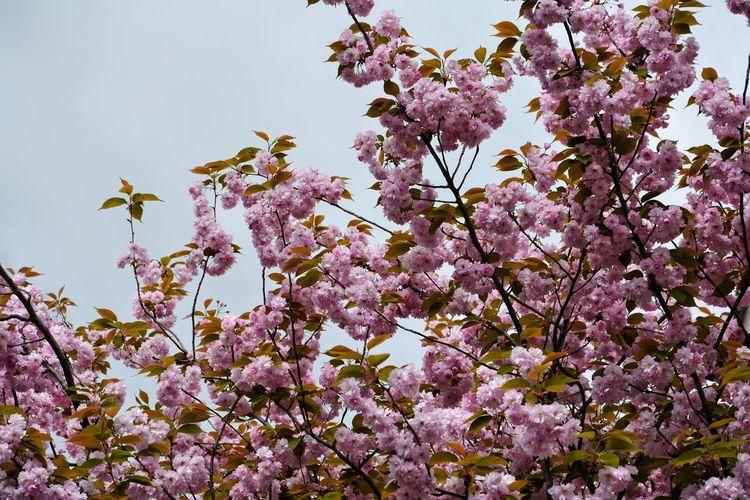 springtime Bird Flower Head Flower Tree Springtime Branch Flying Pink Color Bee Blossom Cherry Blossom Cherry Tree Pollen Blooming Fruit Tree Stamen In Bloom Plant Life Petal