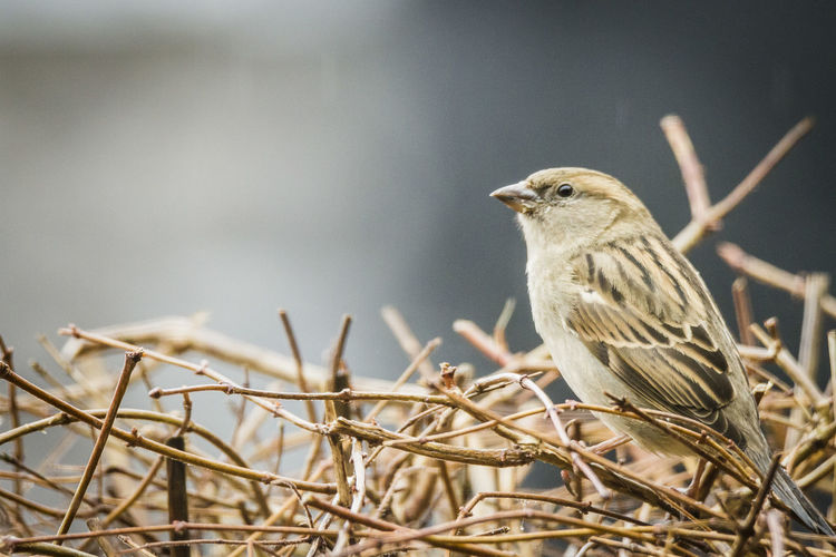 Sparrow Animal Animal Wildlife Animal Themes Animals In The Wild One Animal Bird Perching Branch Plant Tree Focus On Foreground Close-up Sparrow Selective Focus No People Nature Day Outdoors Looking