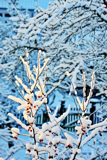 Plant Focus On Foreground Branch Growth No People Beauty In Nature Close-up Fragility Cold Temperature Snow Winter Tranquility Outdoors Tree Vulnerability  Nature Snow Covered Full Frame