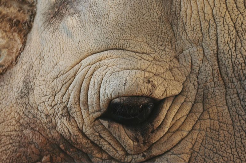 Cropped image of white rhinoceros eye