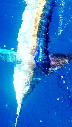 Bluewater Sportfishing Big Game Fishing Saltlife Samsung Galaxy S5 Offshore Marlin Fishing Marlin