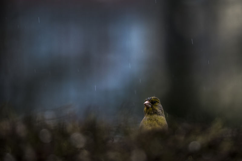 Green Finch in wet conditions Grünfink Grünling Animal Animal Themes Animal Wildlife Animals In The Wild Bird Chloris Chloris Close-up Day Focus On Foreground Green Finch Looking Motion Nature No People One Animal Outdoors Perching Selective Focus Tree Vertebrate