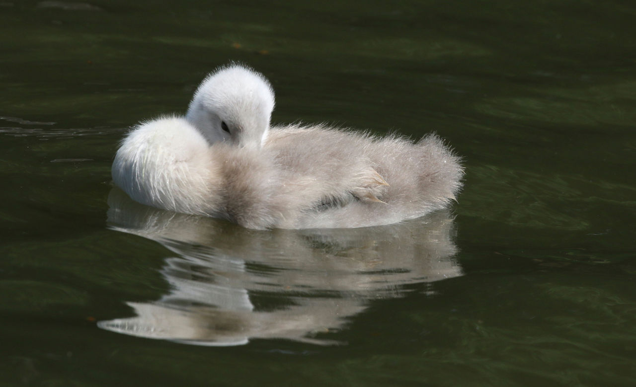 animal themes, animal, water, animal wildlife, vertebrate, swimming, one animal, animals in the wild, lake, young animal, bird, waterfront, white color, swan, nature, no people, reflection, day, young bird, cygnet, floating on water