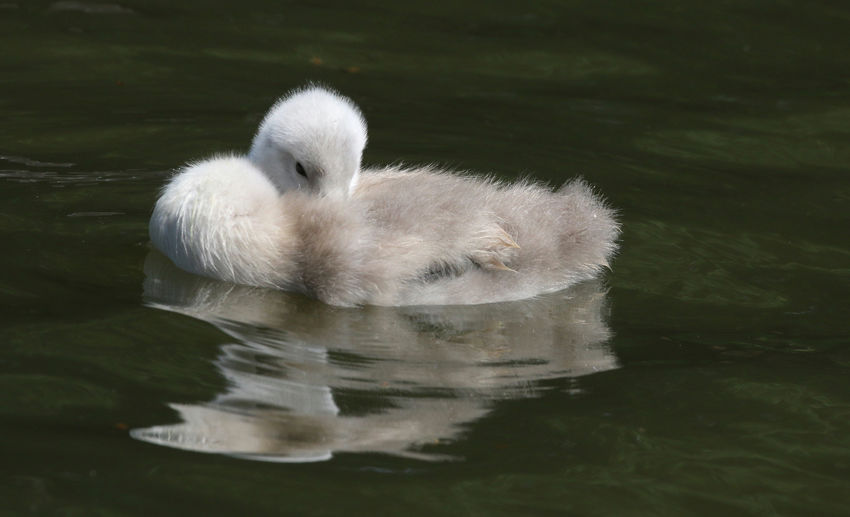 Resting Cygnet Animal Animal Themes Animal Wildlife Animals In The Wild Bird Cygnet Day Floating On Water Lake Nature No People One Animal Outdoors Reflection Swan Swimming Vertebrate Water Waterfront White Color Young Animal