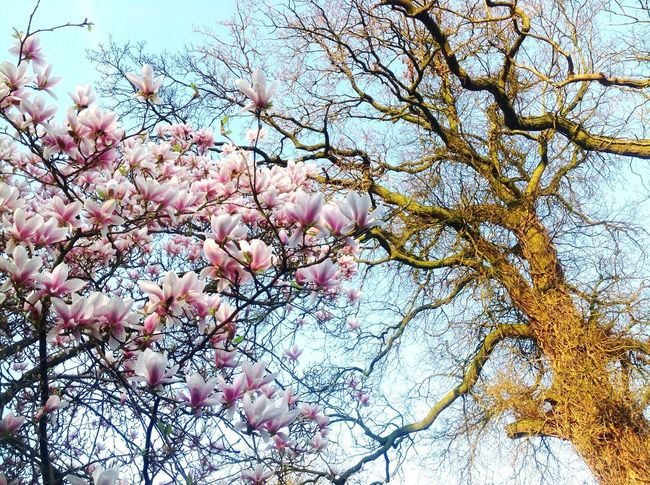 Magnolie und Eiche, Natur, blauer Himmel Plant Tree Low Angle View Branch Growth Beauty In Nature Sky Freshness Pink Color