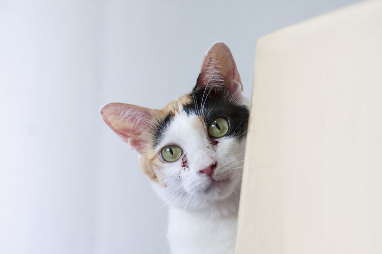 A young calico cat curiously peeking out from behind a cardboard box. Copy Space Cat Domestic Domestic Animals Domestic Cat Feline Indoors  Looking Looking At Camera Mammal No People One Animal Pets Portrait Whisker