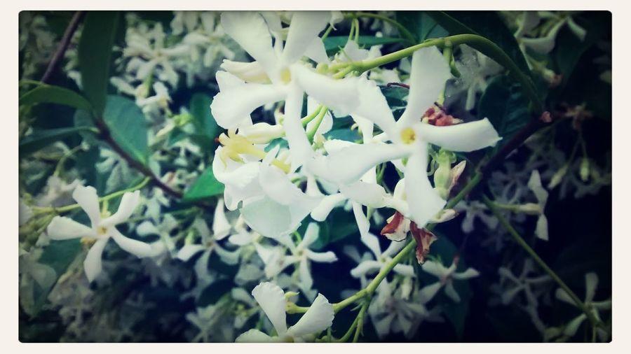 Flores Relaxing Jazmin  Primavera
