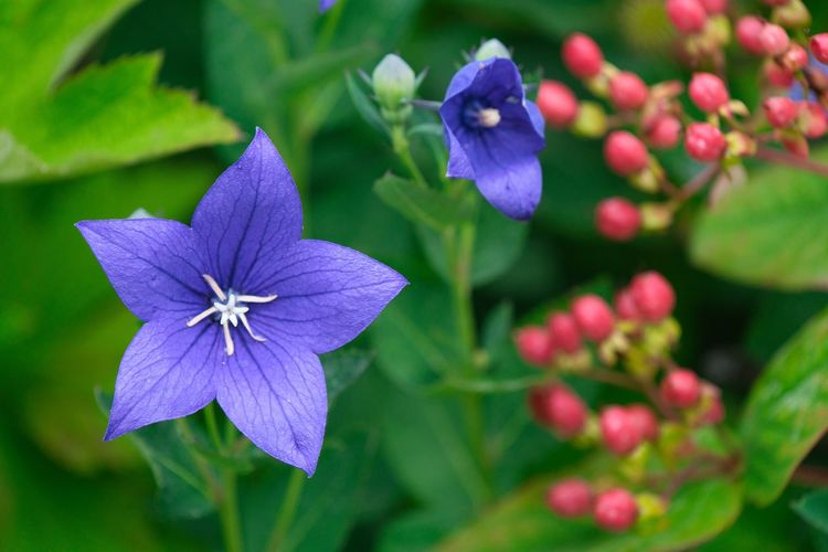 Flowering Plant Flower Plant Fragility Freshness Beauty In Nature Vulnerability  Petal Close-up Flower Head Growth Inflorescence Purple Focus On Foreground Blue Nature Day No People Botany Plant Part
