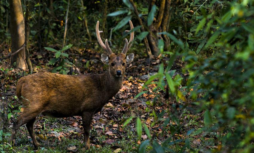 Hog deer One