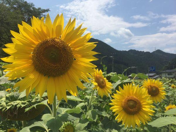 ひまわり ひまわり Sun Flower Sun Flowers
