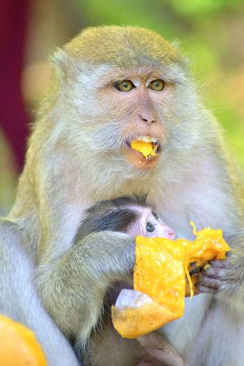 Close-Up Of Monkey Eating Fruit