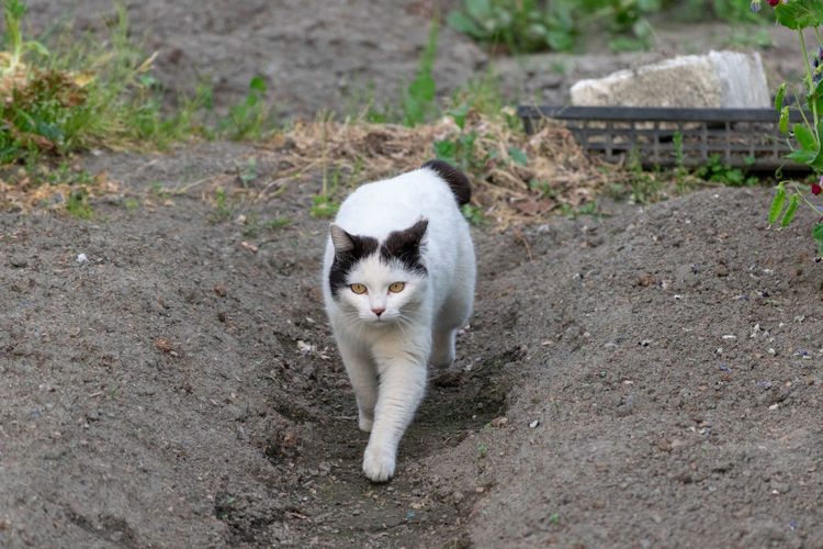 人面猫 Cat Feline
